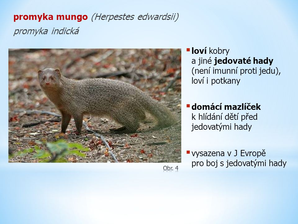 promyka ichneumon (Herpestes ichneumon)  Afrika  posvátné zvíře dob egyptských faraonů  ochránce před hady a krysami  vysazena v Evropě  snadno ochočitelná