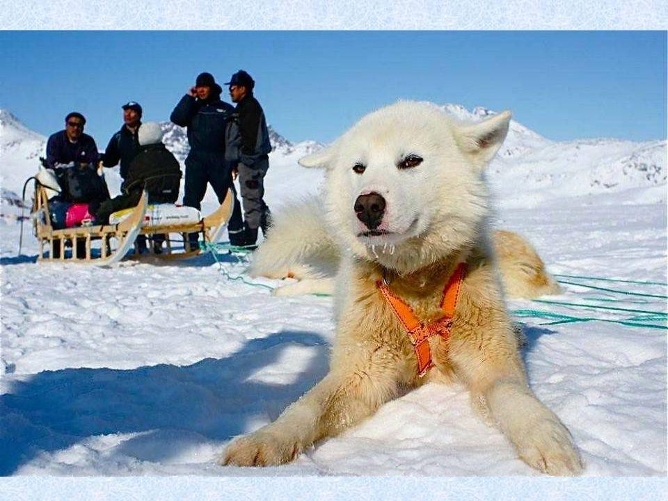 Místní naplno využívají i tradiční způsob dopravy – psí spřežení. Psi, nejčastěji plemene husky, pomáhají s přepravou jak osob, tak materiálu. Dnes se