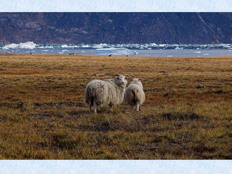 Nejznámějším zástupcem grónské fauny je lední medvěd. Žije převáž- ně na nejzazším severu a v Seve- rogrónském národním parku, který je největším náro