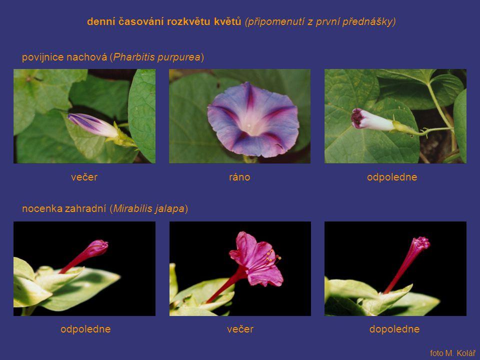 denní časování rozkvětu květů (připomenutí z první přednášky) povijnice nachová (Pharbitis purpurea) foto M. Kolář nocenka zahradní (Mirabilis jalapa)