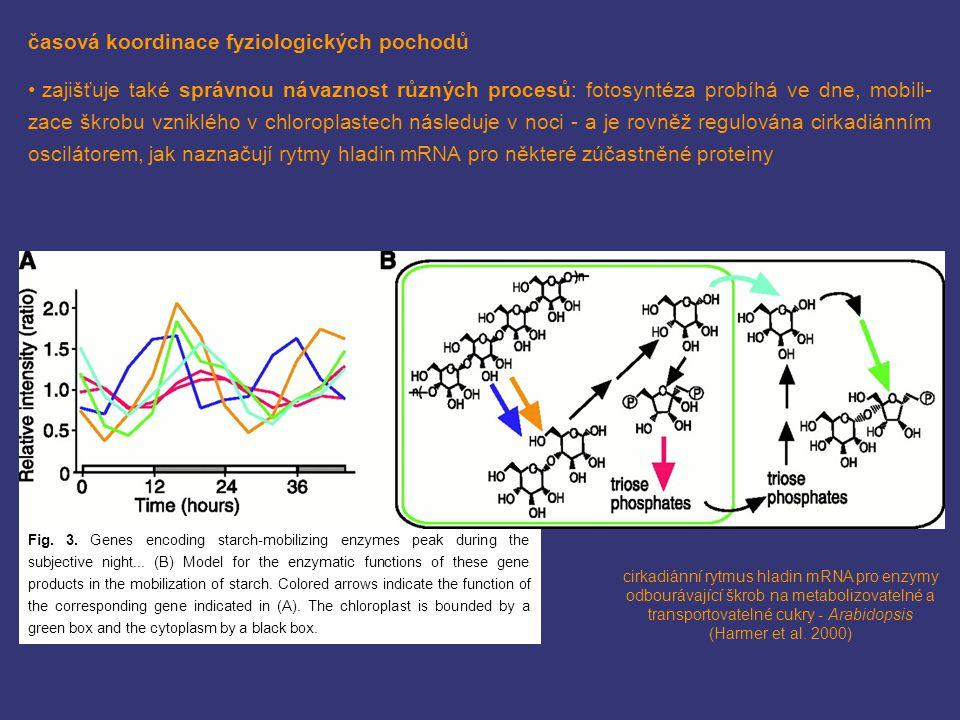 časová koordinace fyziologických pochodů zajišťuje také správnou návaznost různých procesů: fotosyntéza probíhá ve dne, mobili- zace škrobu vzniklého