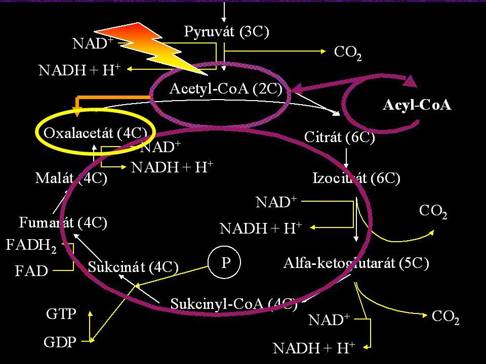Tvorba ketolátek FFA (v plazmě)FFA (v cytoplazmě) Acyl-CoA (v cytoplazmě)Acyl-CoA (v mitochondriích) Acetyl-CoA (v mitochondriích)Oxalacetát Hydroxybutarát + NAD + Aceton dekarboxylace + NADH + H +