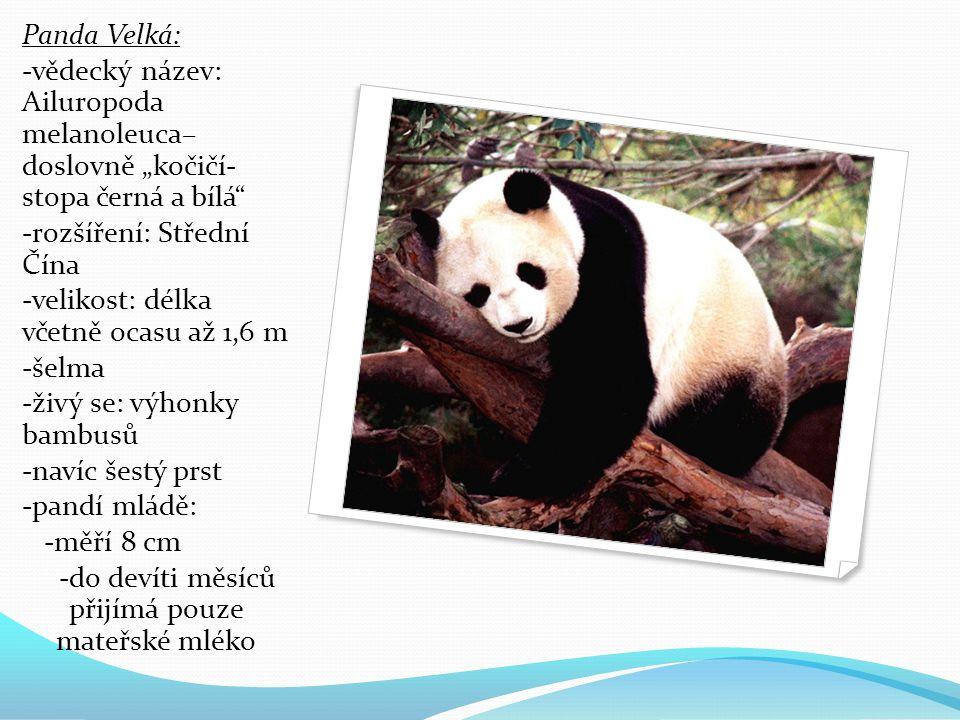 """Panda Velká: -vědecký název: Ailuropoda melanoleuca– doslovně """"kočičí- stopa černá a bílá -rozšíření: Střední Čína -velikost: délka včetně ocasu až 1,6 m -šelma -živý se: výhonky bambusů -navíc šestý prst -pandí mládě: -měří 8 cm -do devíti měsíců přijímá pouze mateřské mléko"""
