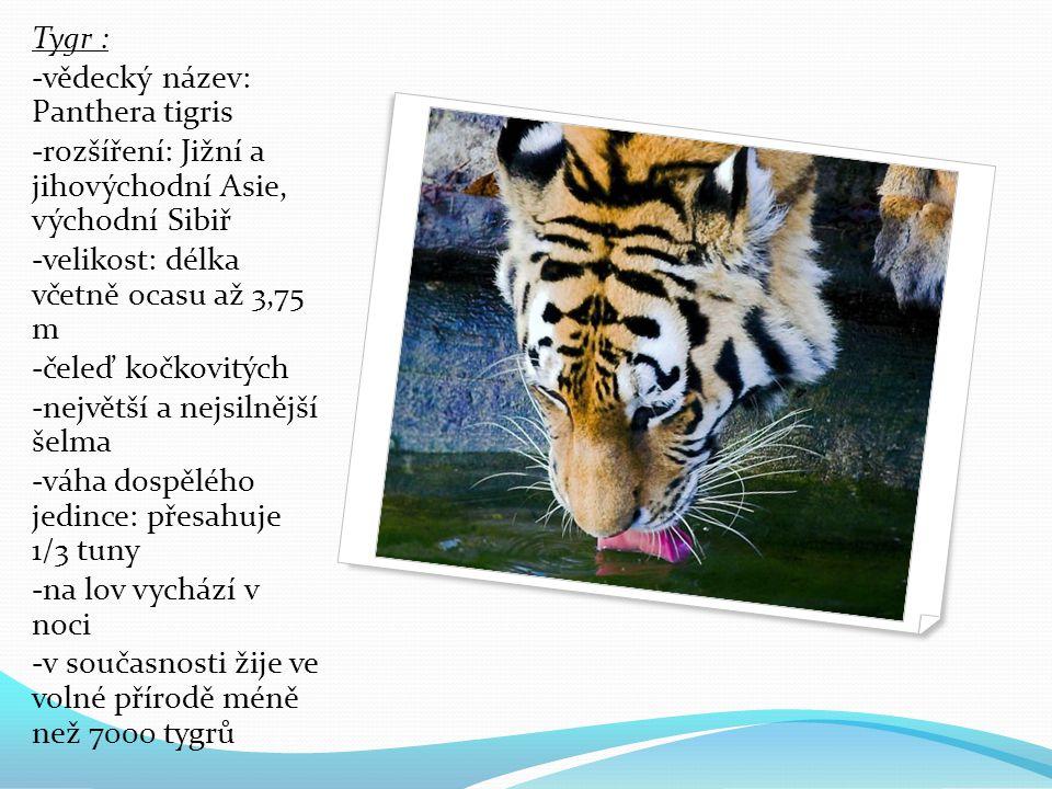 Tygr : -vědecký název: Panthera tigris -rozšíření: Jižní a jihovýchodní Asie, východní Sibiř -velikost: délka včetně ocasu až 3,75 m -čeleď kočkovitých -největší a nejsilnější šelma -váha dospělého jedince: přesahuje 1/3 tuny -na lov vychází v noci -v současnosti žije ve volné přírodě méně než 7000 tygrů
