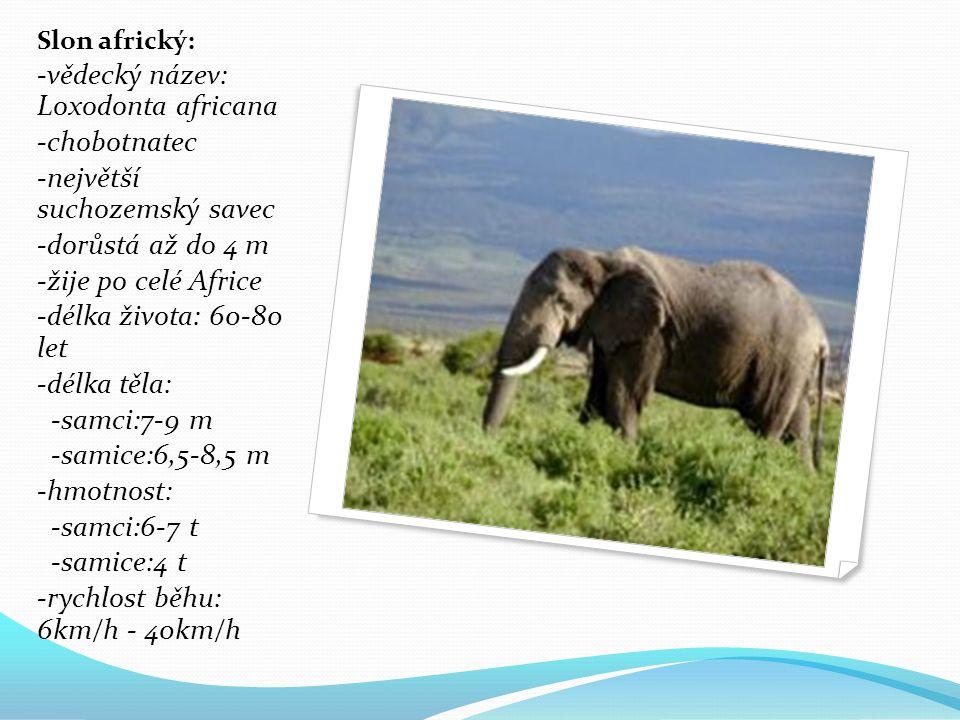 Slon africký: -vědecký název: Loxodonta africana -chobotnatec -největší suchozemský savec -dorůstá až do 4 m -žije po celé Africe -délka života: 60-80 let -délka těla: -samci:7-9 m -samice:6,5-8,5 m -hmotnost: -samci:6-7 t -samice:4 t -rychlost běhu: 6km/h - 40km/h