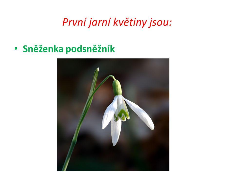 První jarní květiny jsou: Sněženka podsněžník