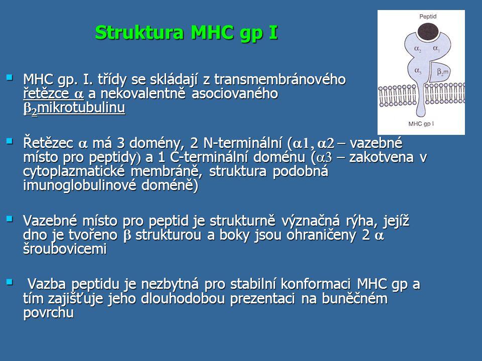 Struktura MHC gp I  MHC gp. I. třídy se skládají z transmembránového řetězce  a nekovalentně asociovaného   mikrotubulinu  Řetězec  má 3 domény,