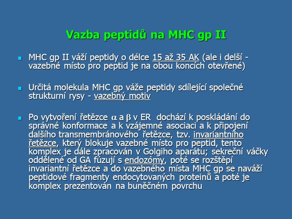 Vazba peptidů na MHC gp II MHC gp II váží peptidy o délce 15 až 35 AK (ale i delší - vazebné místo pro peptid je na obou koncích otevřené) MHC gp II v