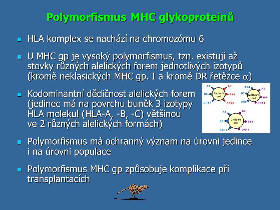Polymorfismus MHC glykoproteinů HLA komplex se nachází na chromozómu 6 HLA komplex se nachází na chromozómu 6 U MHC gp je vysoký polymorfismus, tzn. e