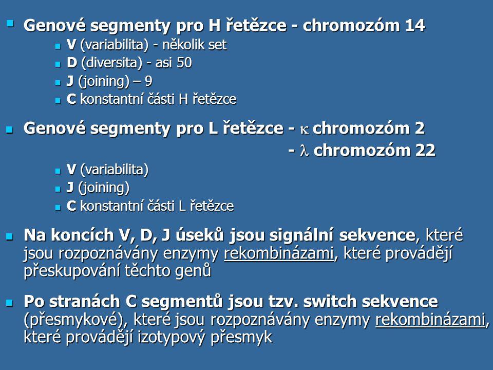  Genové segmenty pro H řetězce - chromozóm 14 V (variabilita) - několik set V (variabilita) - několik set D (diversita) - asi 50 D (diversita) - asi
