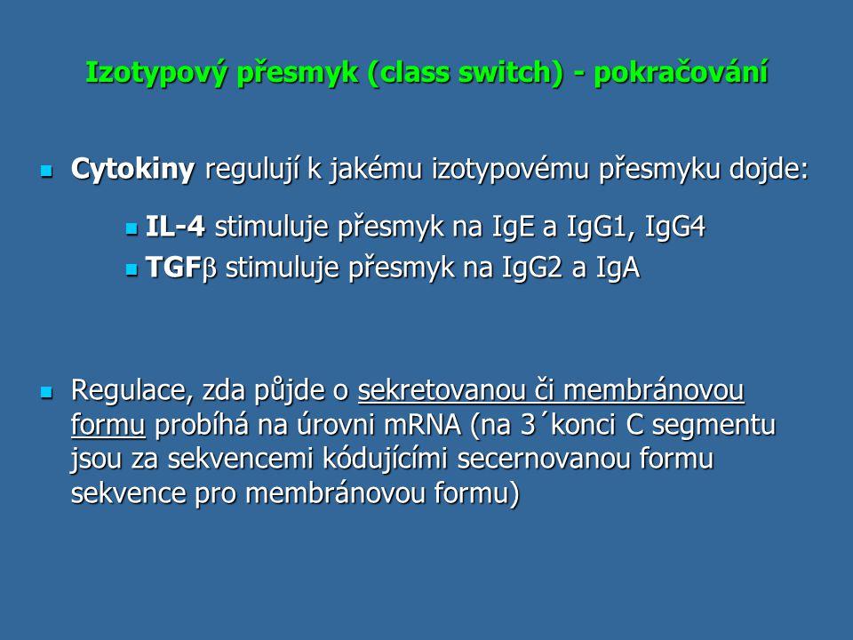 Izotypový přesmyk (class switch) - pokračování Cytokiny regulují k jakému izotypovému přesmyku dojde: Cytokiny regulují k jakému izotypovému přesmyku
