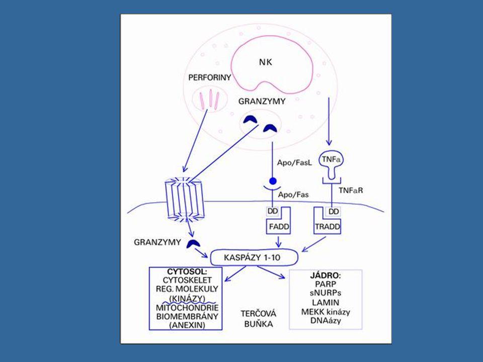 Třídy imunoglobulínů a jejich funkce Rozlišujeme podle konstantní části H řetězce Rozlišujeme podle konstantní části H řetězce IgM, IgD, IgG ( IgG1 – IgG4), IgA (IgA1, IgA2), IgE IgM, IgD, IgG ( IgG1 – IgG4), IgA (IgA1, IgA2), IgE IgM - jako monomer tvoří BCR - sekretovaný ve formě pentamerů (10 vazebných míst) - první izotyp, který se tvoří po setkání s Ag - neutralizace Ag, aktivuje komplement, neváže se na Fc receptory fagocytů - (koncentrace 0,9 – 2,5 g/l; biol.