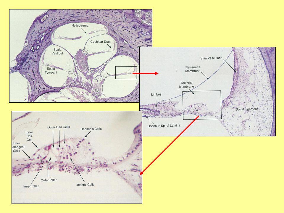 Vrozená nedoslýchavost (Ormerod 1960) poškození vývoje přerušení vývoje degenerace části, která byla již částečně nebo úplně vyvinuta