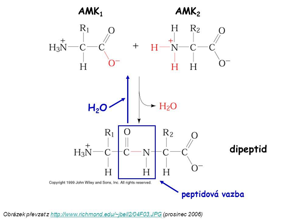 Obrázek převzat z http://www.richmond.edu/~jbell2/04F03.JPG (prosinec 2006)http://www.richmond.edu/~jbell2/04F03.JPG H2OH2O AMK 1 AMK 2 dipeptid pepti