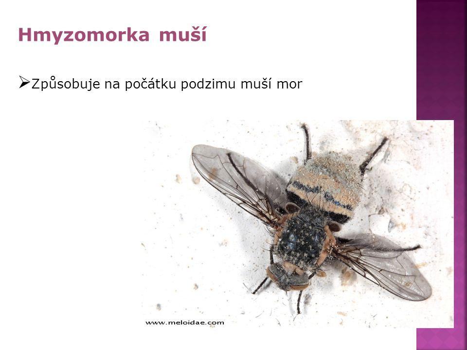 Hmyzomorka muší  Způsobuje na počátku podzimu muší mor