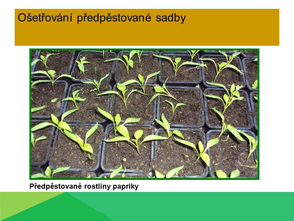 Ošetřování předpěstované sadby Předpěstované rostliny papriky