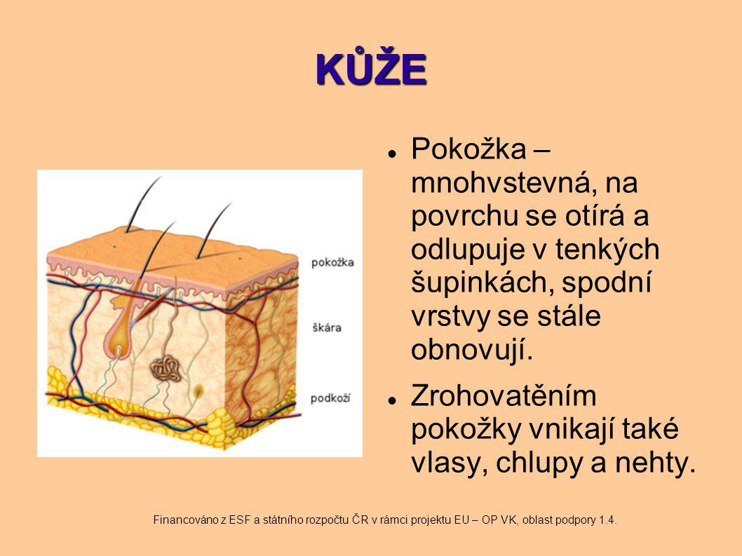 VLASY A CHLUPY Jsou uloženy v tzv.pochvě, do které ústí mazové žlázy, které vytvářejí kožní maz.