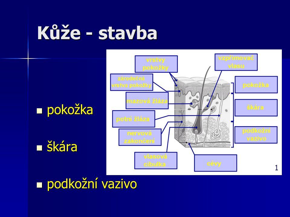 Kůže - stavba pokožka pokožka škára škára podkožní vazivo podkožní vazivo 1