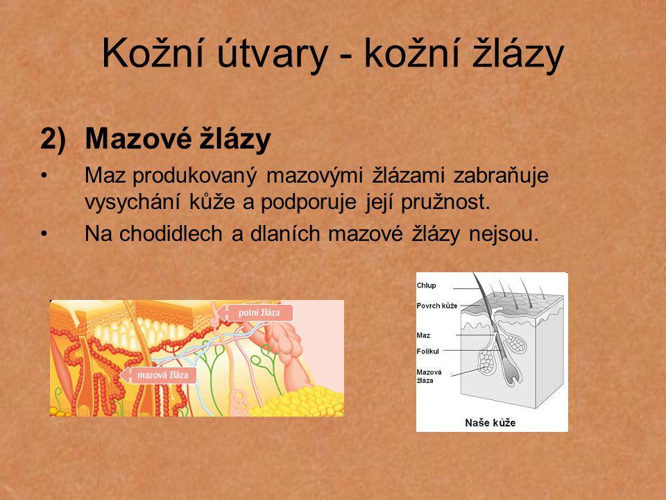 Kožní útvary - kožní žlázy 2)Mazové žlázy Maz produkovaný mazovými žlázami zabraňuje vysychání kůže a podporuje její pružnost. Na chodidlech a dlaních