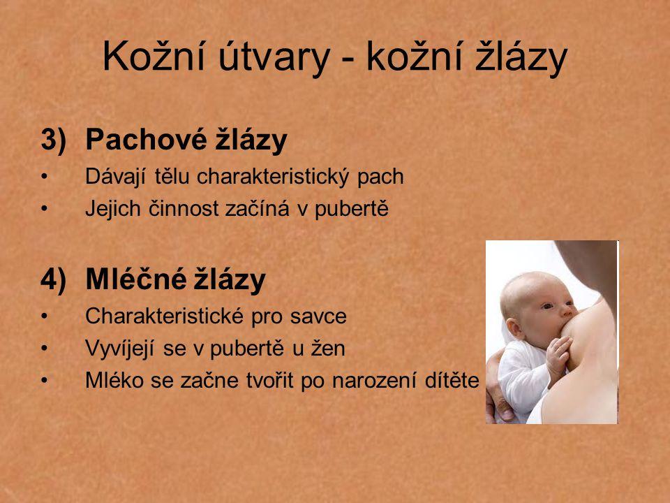 Kožní útvary - kožní žlázy 3)Pachové žlázy Dávají tělu charakteristický pach Jejich činnost začíná v pubertě 4)Mléčné žlázy Charakteristické pro savce