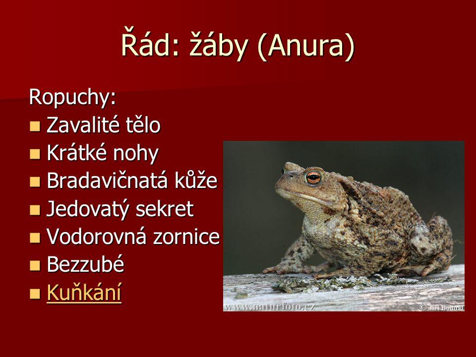 Řád: žáby (Anura) Blatnice: Zahrabává se na zimu až do 100 cm Zahrabává se na zimu až do 100 cm 5-8 cm 5-8 cm Pulci větší než Pulci větší než dospělec