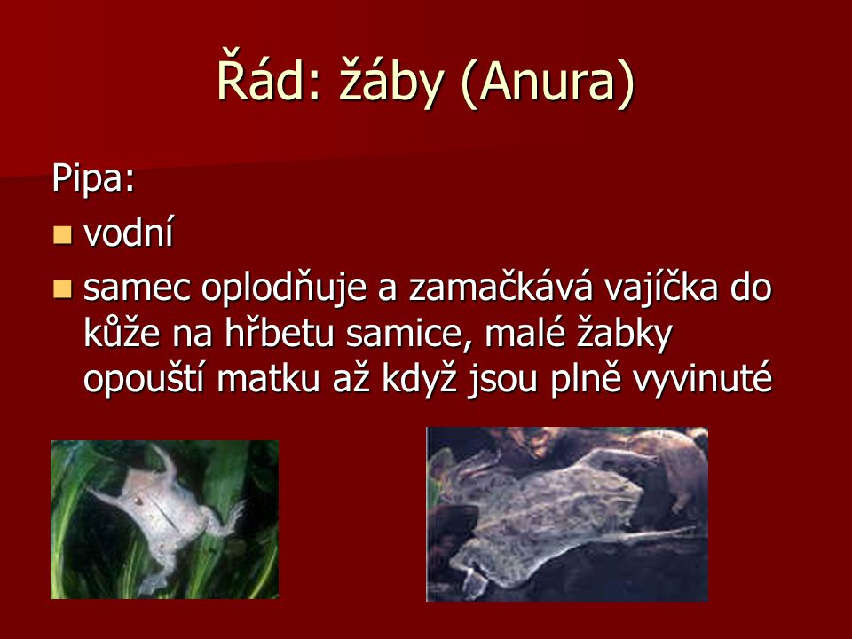 Řád: žáby (Anura) Drápatka vodní vodní vodní Samice dosahuje délky 13 cm, samci 7-8 cm Samice dosahuje délky 13 cm, samci 7-8 cm na zadních prstech dr