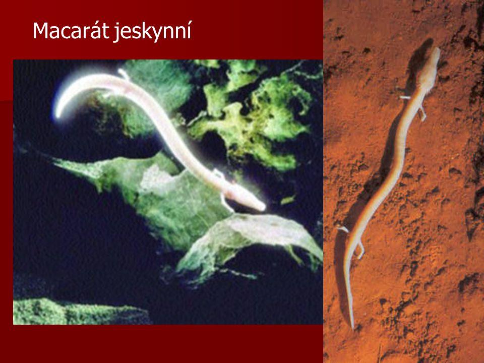 Podtř.: Ocasatí převážně v mírném pásu převážně v mírném pásu larva se podobá dospělci larva se podobá dospělci mlok skvrnitý (Salamandra salamandra)