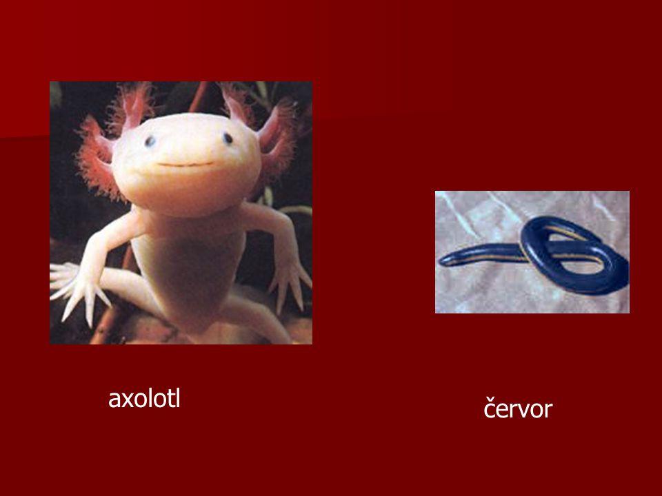 Smysly: Smysly: u žab hlavně čich a zrak (barevný) u žab hlavně čich a zrak (barevný) oční žlázy, slzný kanálek, tři oční víčka (3.mžurka, pohyblivé dolní) oční žlázy, slzný kanálek, tři oční víčka (3.mžurka, pohyblivé dolní) střední ucho (1 kůstka) – zvuk se na vzduchu šíří hůř než ve vodě chuťová čidla postranní čára u larev a některých ocasatých
