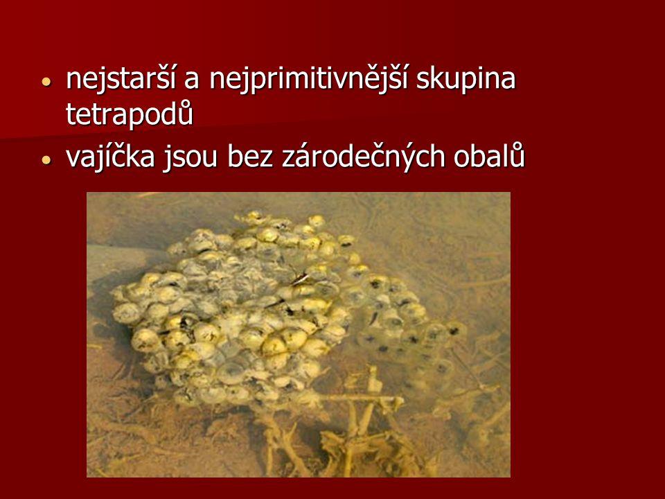  nejstarší a nejprimitivnější skupina tetrapodů  vajíčka jsou bez zárodečných obalů