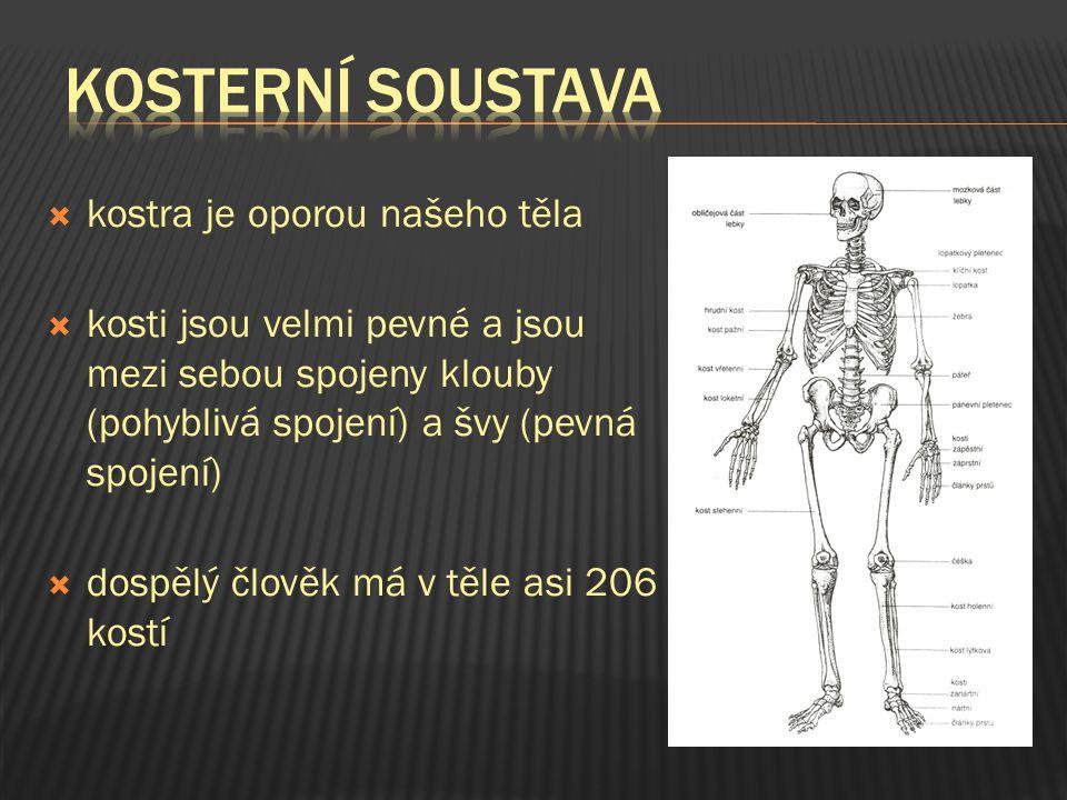 kkostra je oporou našeho těla kkosti jsou velmi pevné a jsou mezi sebou spojeny klouby (pohyblivá spojení) a švy (pevná spojení) ddospělý člověk