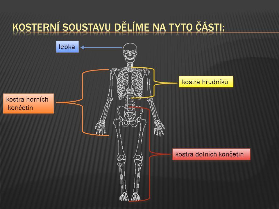 OOpora - kosti tělo podpírají, udržují také orgány na správných místech OOchrana - kosti tvořící lebku chrání mozek a žebra chrání srdce, plíce a žaludek PPohyb - Kosti spolu se svaly umožňují pohyb