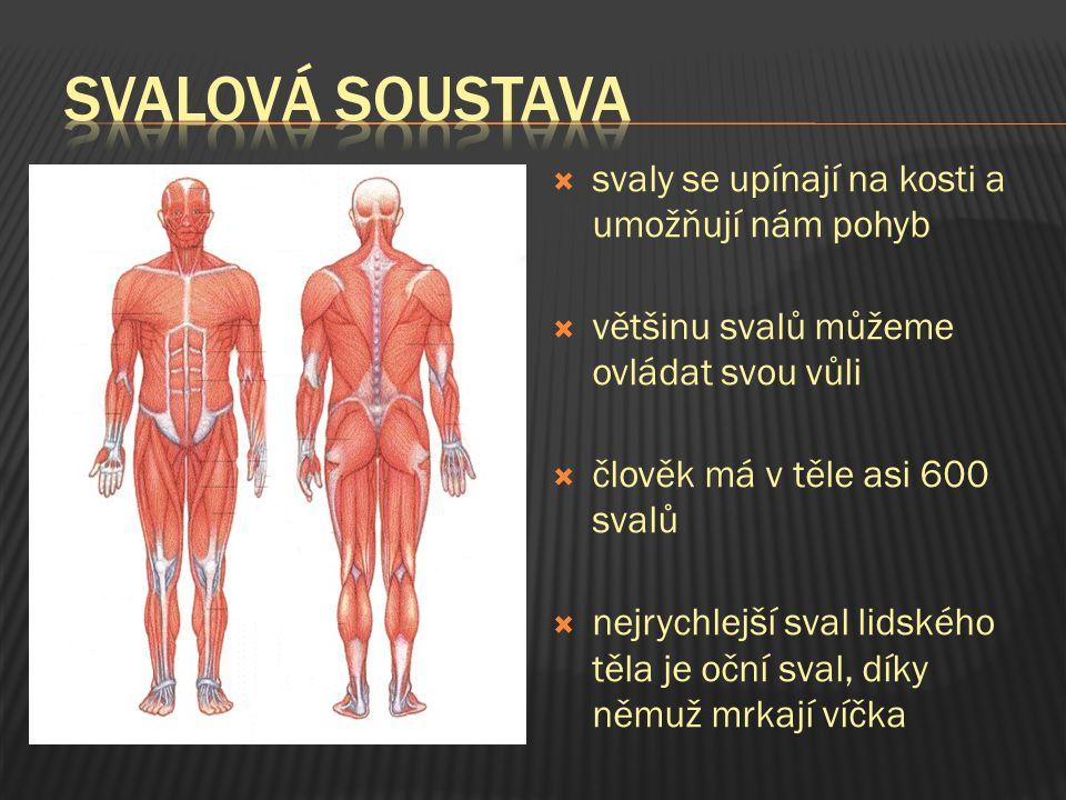 ssvaly se upínají na kosti a umožňují nám pohyb vvětšinu svalů můžeme ovládat svou vůli ččlověk má v těle asi 600 svalů nnejrychlejší sval lid