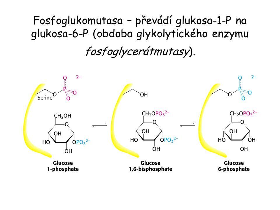 Fosfoglukomutasa – převádí glukosa-1-P na glukosa-6-P (obdoba glykolytického enzymu fosfoglycerátmutasy).