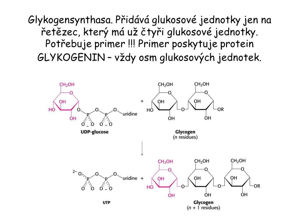 Glykogensynthasa. Přidává glukosové jednotky jen na řetězec, který má už čtyři glukosové jednotky. Potřebuje primer !!! Primer poskytuje protein GLYKO