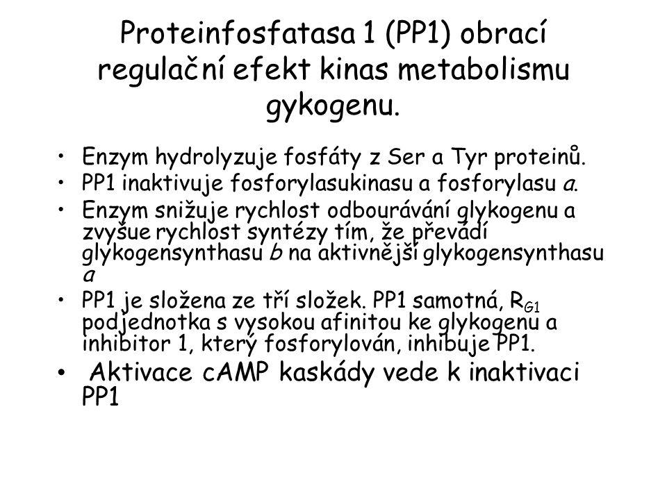 Proteinfosfatasa 1 (PP1) obrací regulační efekt kinas metabolismu gykogenu. Enzym hydrolyzuje fosfáty z Ser a Tyr proteinů. PP1 inaktivuje fosforylasu