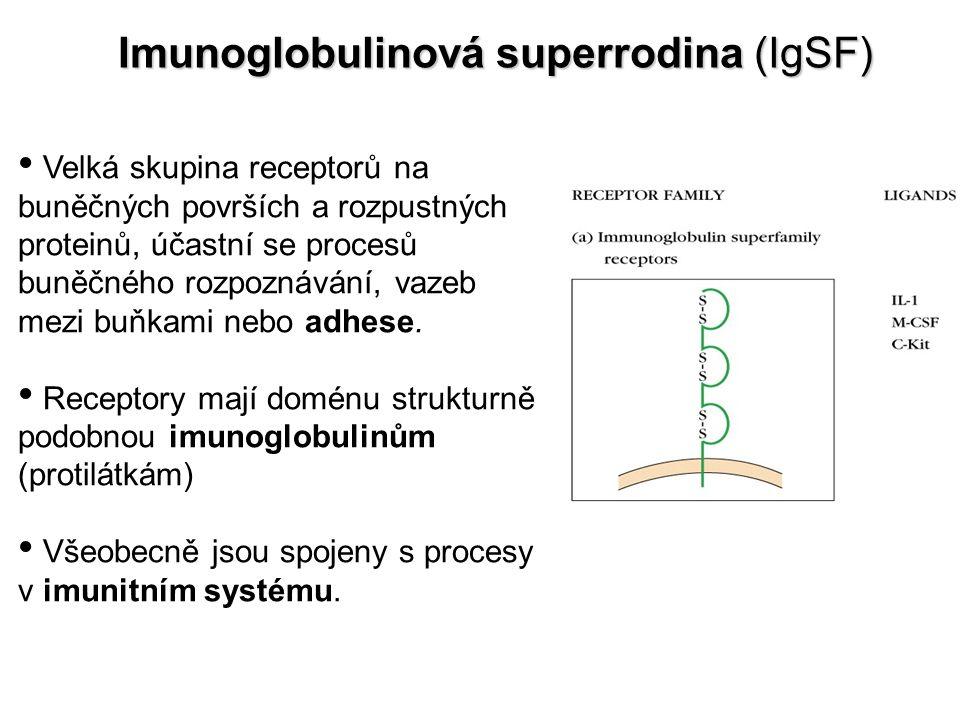 Imunoglobulinová superrodina (IgSF) Velká skupina receptorů na buněčných površích a rozpustných proteinů, účastní se procesů buněčného rozpoznávání, v