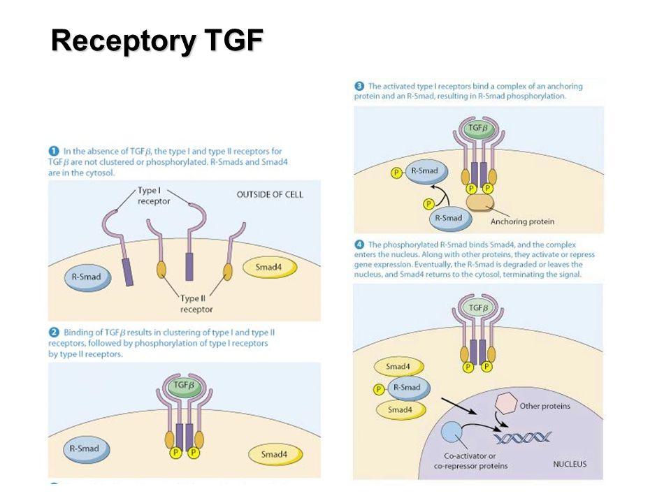 Receptory TGF