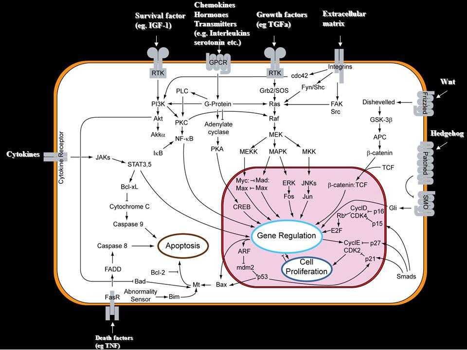 Imunoglobulinová superrodina (IgSF) Velká skupina receptorů na buněčných površích a rozpustných proteinů, účastní se procesů buněčného rozpoznávání, vazeb mezi buňkami nebo adhese.