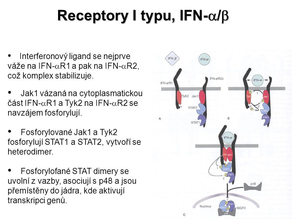 Interferonový ligand se nejprve váže na IFN-  R1 a pak na IFN-  R2, což komplex stabilizuje. Jak1 vázaná na cytoplasmatickou část IFN-  R1 a Tyk2 n