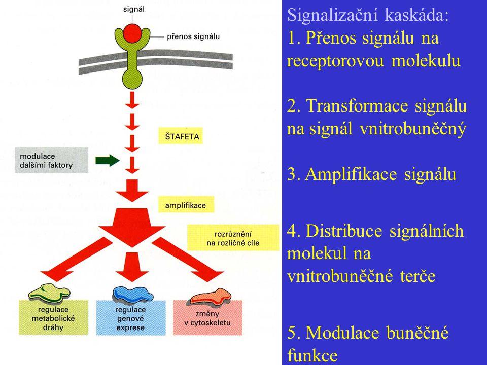 Signalizační kaskáda: 1. Přenos signálu na receptorovou molekulu 2. Transformace signálu na signál vnitrobuněčný 3. Amplifikace signálu 4. Distribuce