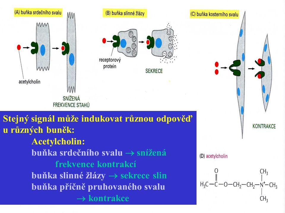 Stejný signál může indukovat různou odpověď u různých buněk: Acetylcholin: buňka srdečního svalu  snížená frekvence kontrakcí buňka slinné žlázy  se