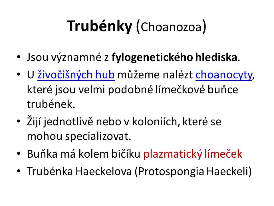 Trubénky ( Choanozoa ) Jsou významné z fylogenetického hlediska. U živočišných hub můžeme nalézt choanocyty, které jsou velmi podobné límečkové buňce