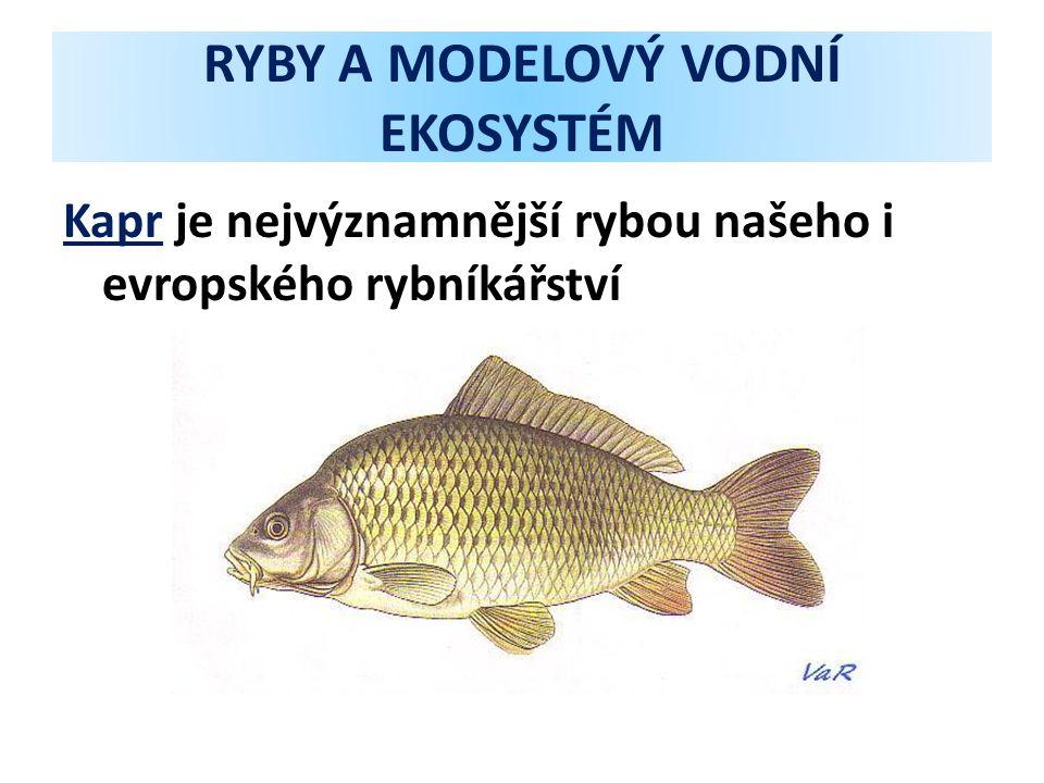 RYBY A MODELOVÝ VODNÍ EKOSYSTÉM Kapr je nejvýznamnější rybou našeho i evropského rybníkářství