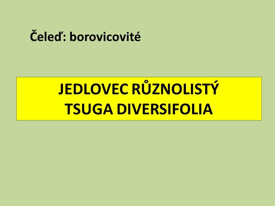 JEDLOVEC RŮZNOLISTÝ TSUGA DIVERSIFOLIA Čeleď: borovicovité
