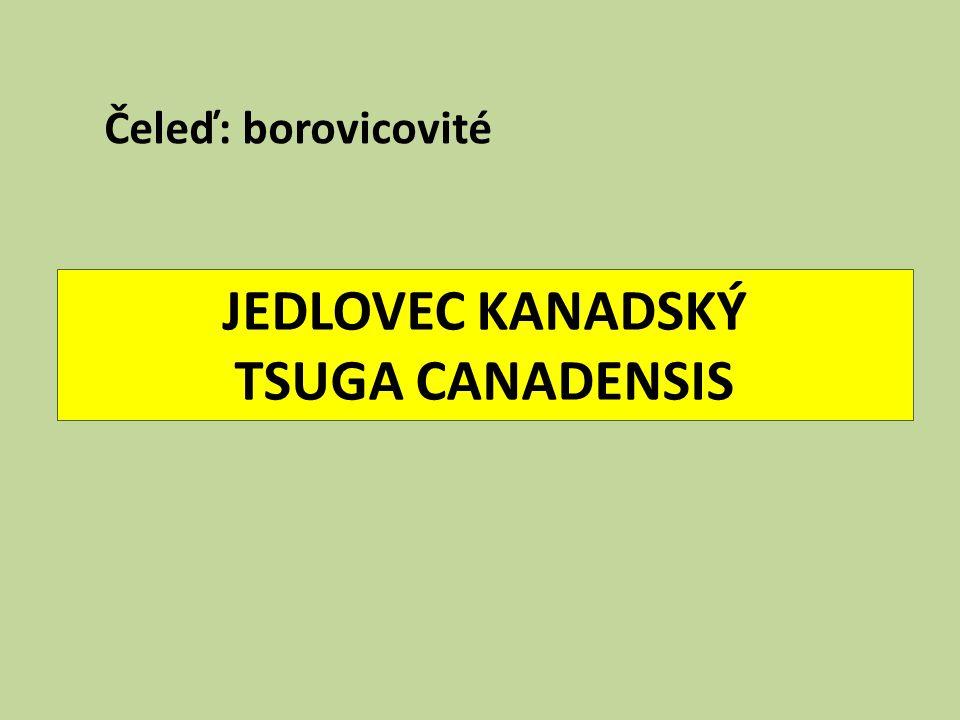 JEDLOVEC KANADSKÝ TSUGA CANADENSIS Čeleď: borovicovité