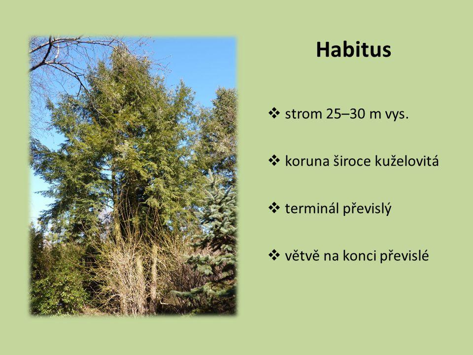 Habitus  strom 25–30 m vys.  koruna široce kuželovitá  terminál převislý  větvě na konci převislé