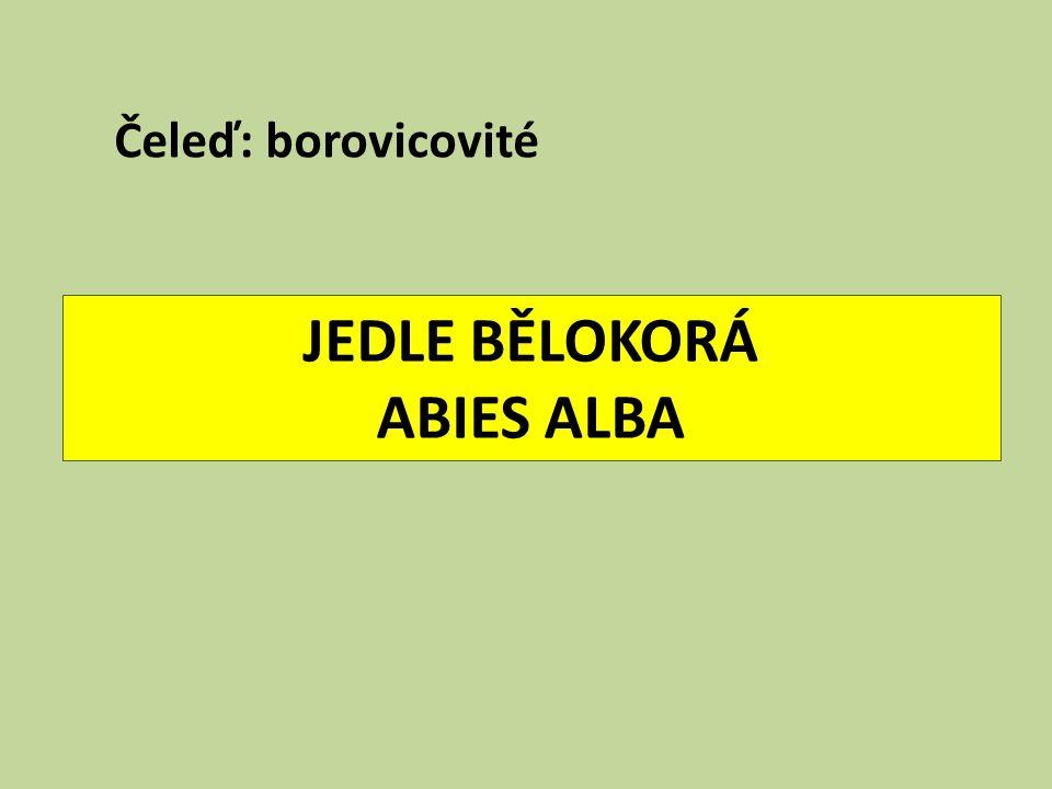 JEDLE BĚLOKORÁ ABIES ALBA Čeleď: borovicovité