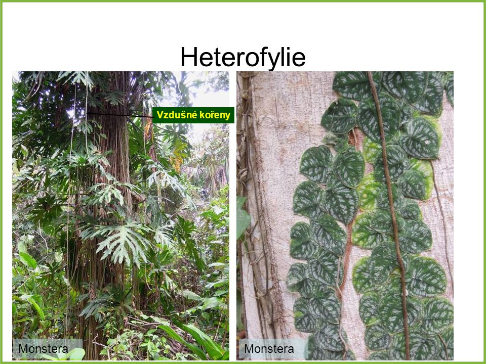 Heterofylie Monstera Vzdušné kořeny Monstera