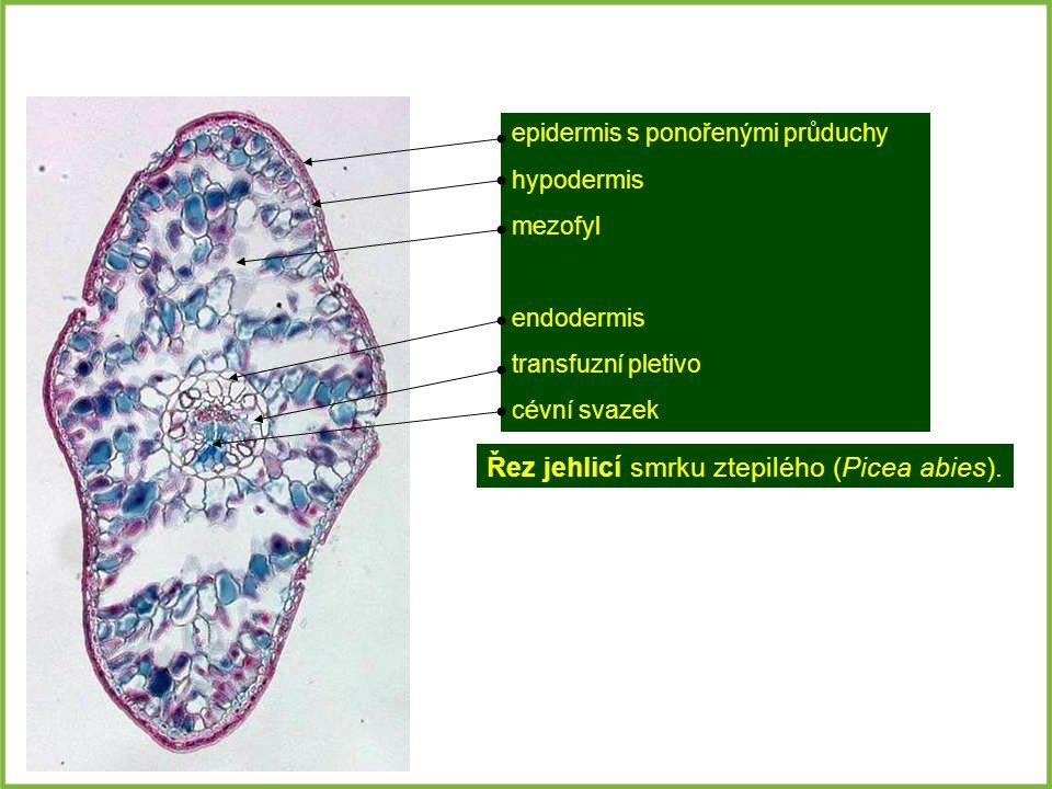 Řez jehlicí smrku ztepilého (Picea abies). epidermis s ponořenými průduchy hypodermis mezofyl endodermis transfuzní pletivo cévní svazek