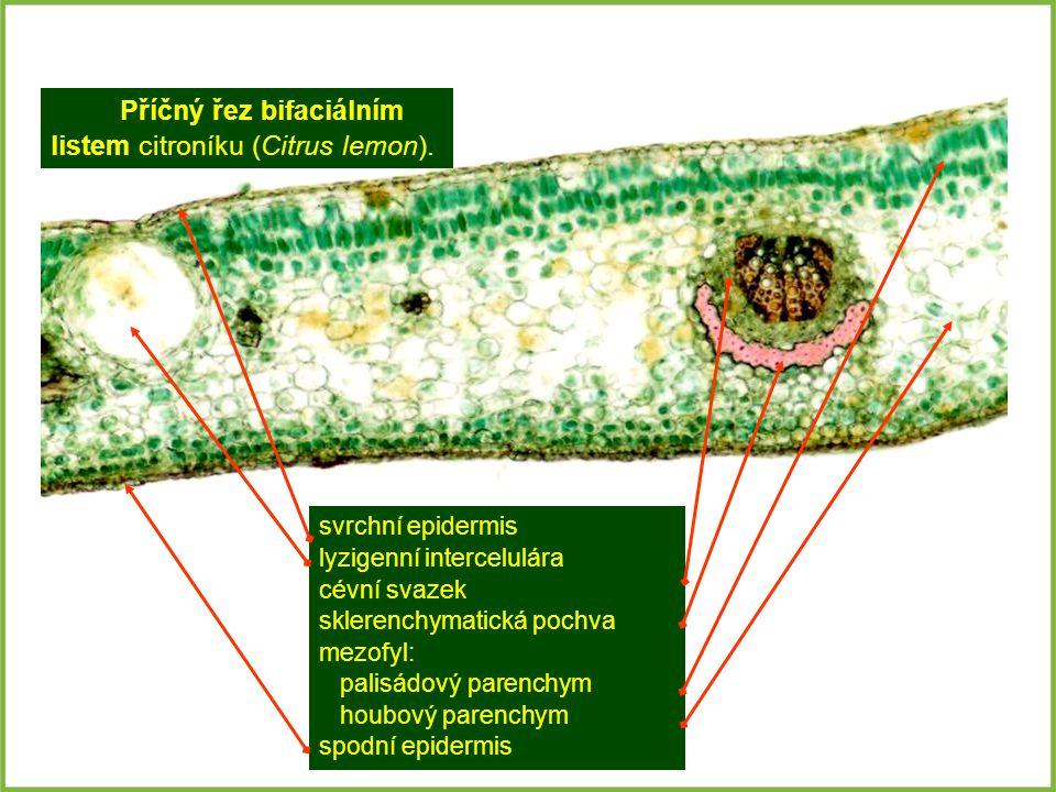 svrchní epidermis lyzigenní intercelulára cévní svazek sklerenchymatická pochva mezofyl: palisádový parenchym houbový parenchym spodní epidermis Příčn